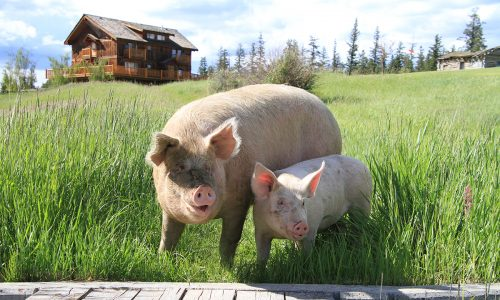 Wellness, wilderness and a walk with pigs at BC's Echo Valley Ranch and Spa
