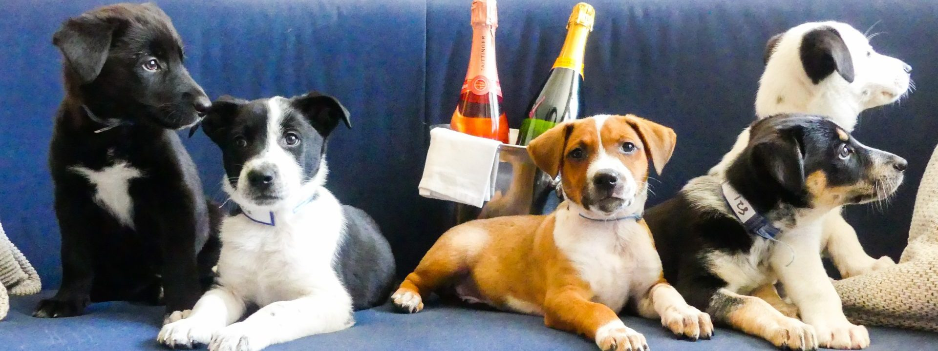 Paws for the cause with an in-room puppy party at Denver's Kimpton Monaco